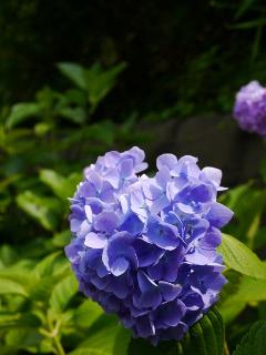 江の島の紫陽花