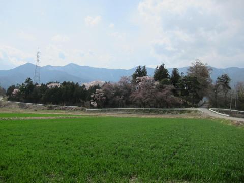 恭検寺の桜