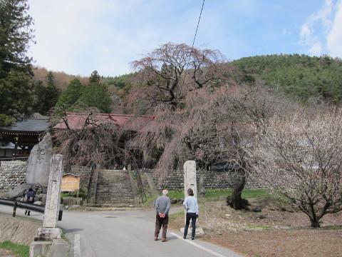 真光寺の桜