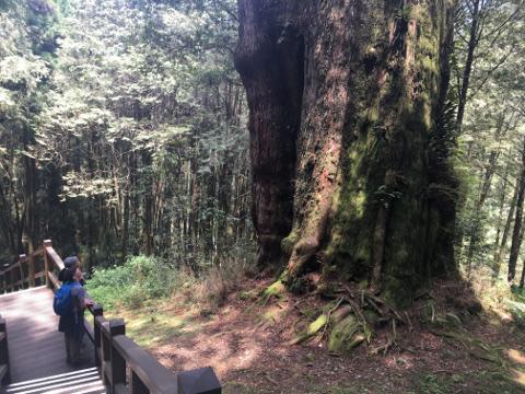 28号巨木
