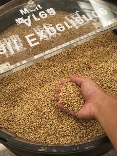 大麦のサンプル